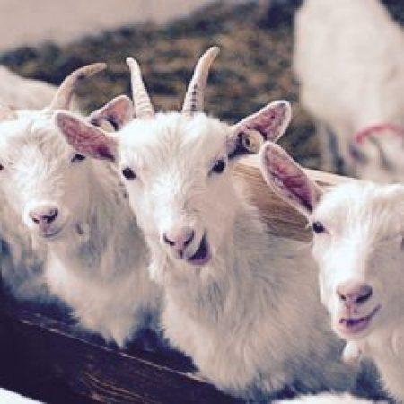 Доклад ФАО об антибиотиках в животноводстве