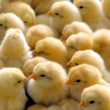 Мировое птицеводство отказывается от антибиотиков?