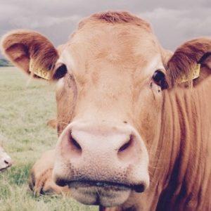 Антибиотики — бич животноводства в России