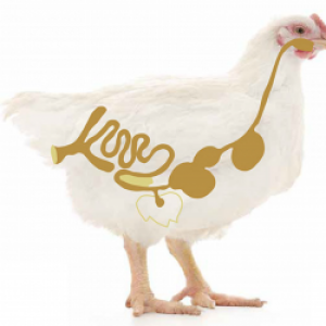 Здоровье птицы без антибиотиков