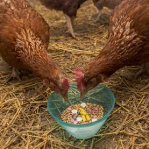 Использование антибиотиков при выращивании кур в Таиланде
