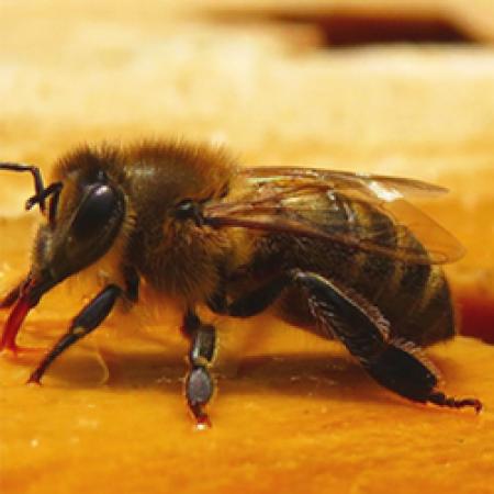Антибиотики могут быть причиной вымирания пчел