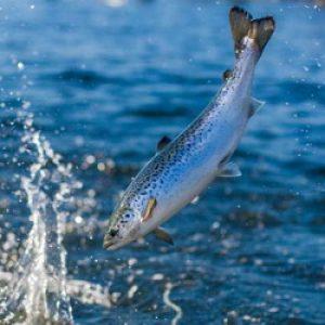 Чили. Антибиотики в производстве лосося