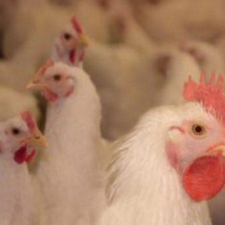 Антибиотики и проблемы кишечника птицы