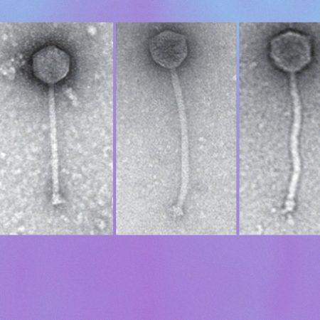 ГМ-бактериофаги против антибиотикорезистентной инфекции