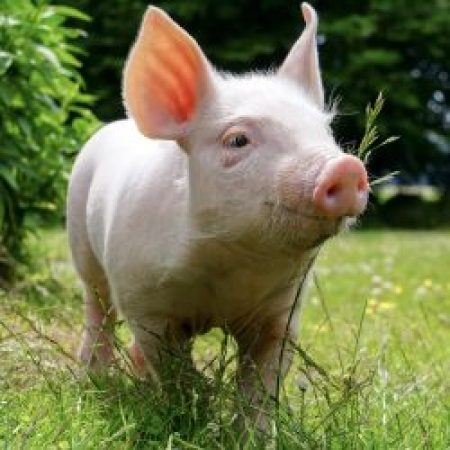 Свиньи без антибиотиков.  Выращено в Дании.