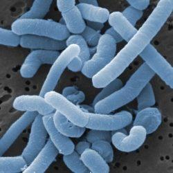 Лактобактерии пробиотиков могут быть опасны